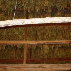 Tobacco that's almost done drying