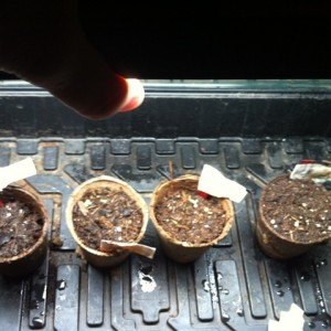 Germinating and sprouting seeds 16 days from start.
